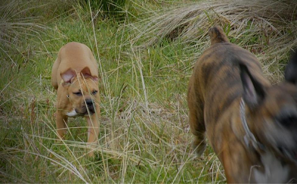 dogs in fields
