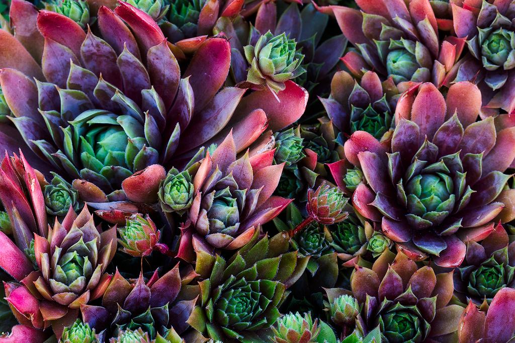 rainbow cacti